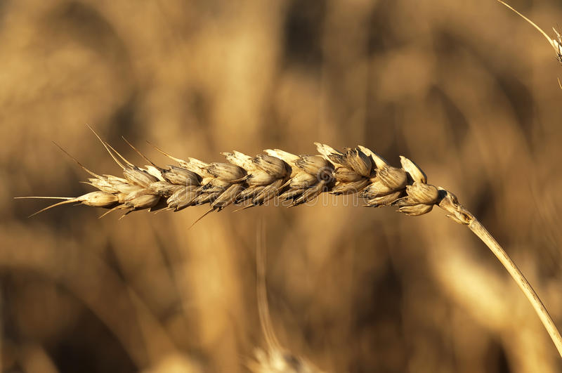 Golden wheat stock images
