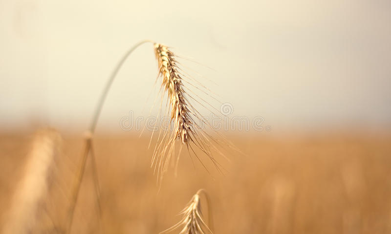 Download Golden wheat stock photo. Image of health, barley, oats - 21659226