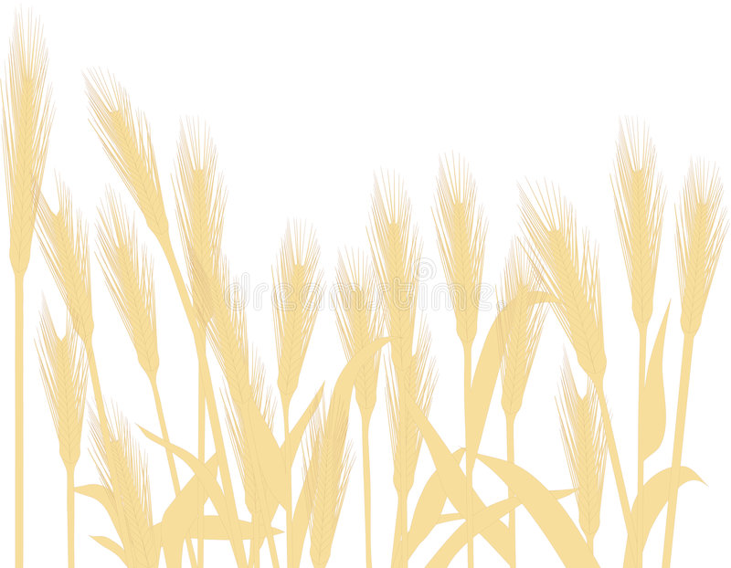 Golden Wheat. Isolated on white. The vector file is in AI-EPS8 format