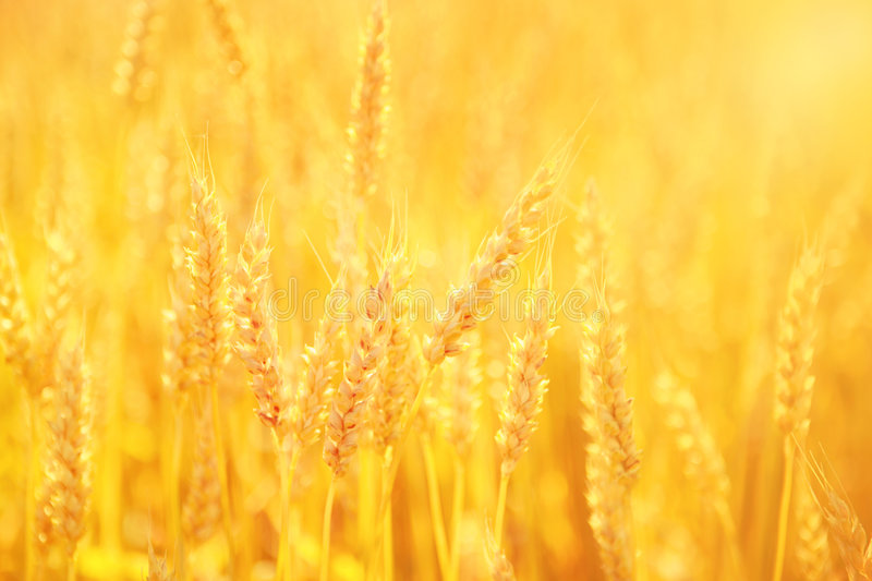 Download Golden Wheat stock image. Image of agriculture, seed, grain - 7583383