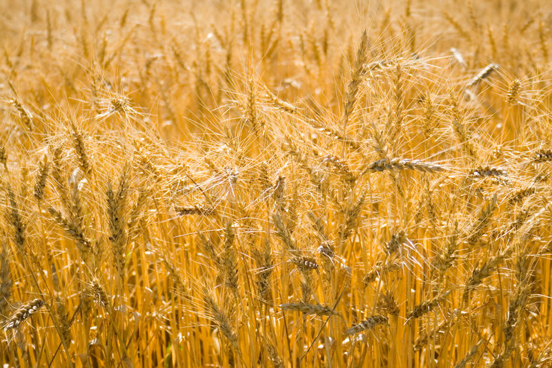 Download Golden wheat cereals stock image. Image of cultivate, august - 2844619
