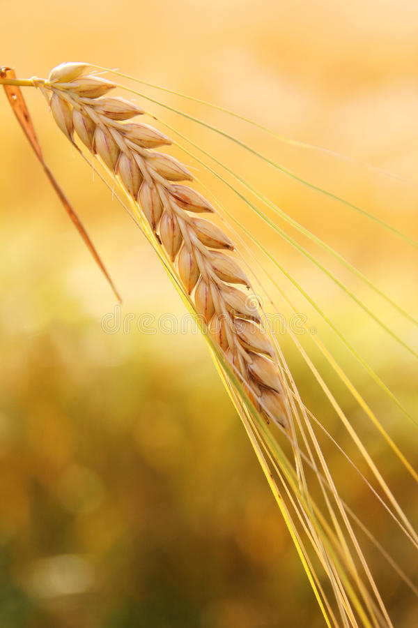 Golden wheat ear. One corn ear against cornfied, golden colored, at harvest time royalty free stock image