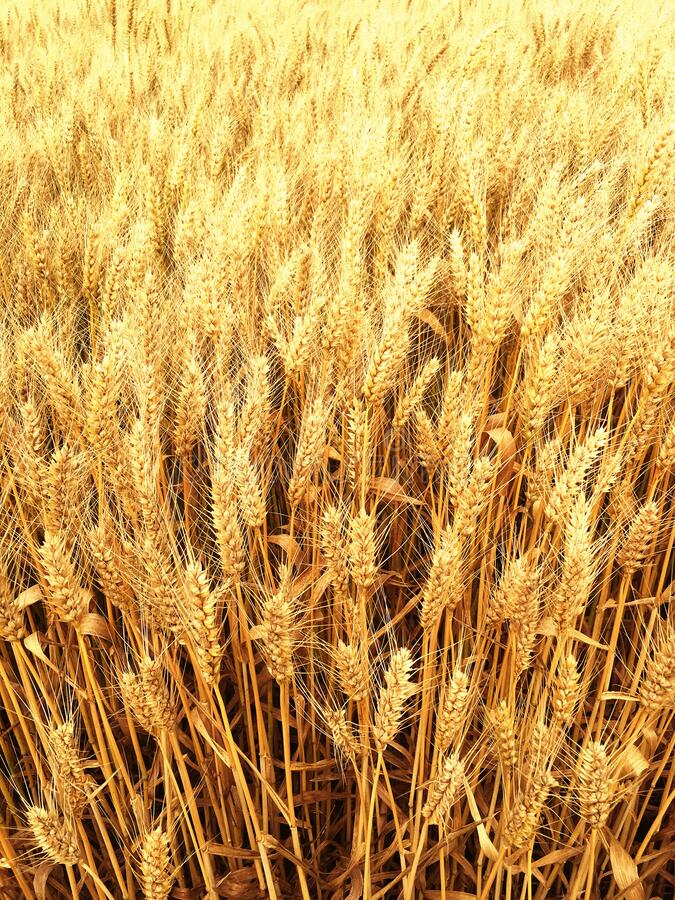 Golden wheat on an endless field royalty free stock photography
