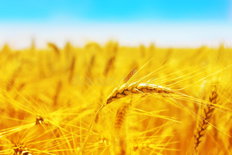 Download Golden wheat field stock image. Image of farmland, blue - 20303787