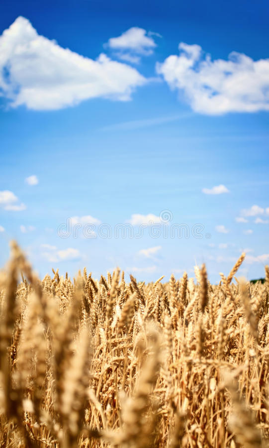 Download Golden wheat field stock photo. Image of freedom, blue - 27527336