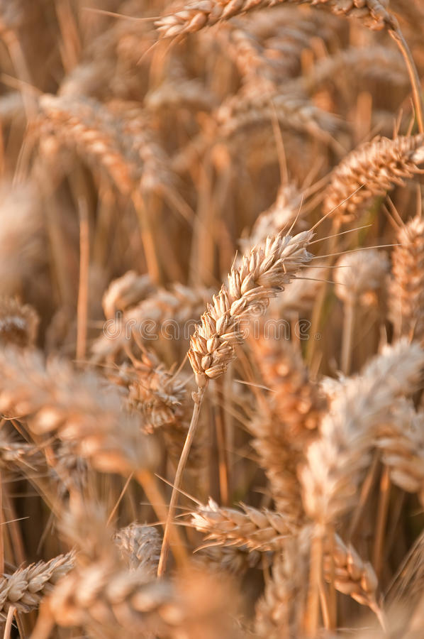 Golden wheat field #3 royalty free stock photography
