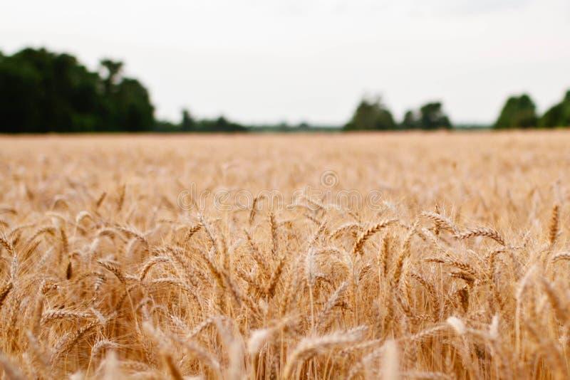 Golden Wheat Field Free Public Domain Cc0 Image