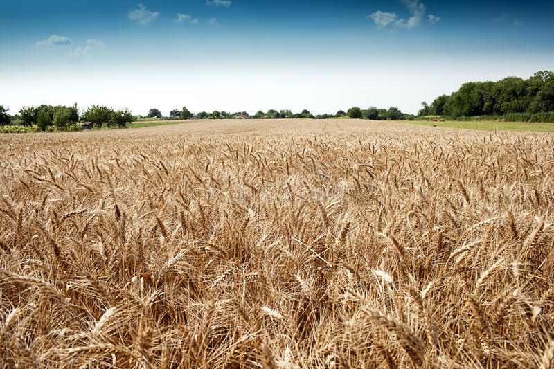 Download Golden wheat field stock photo. Image of cereal, wheat - 33715290