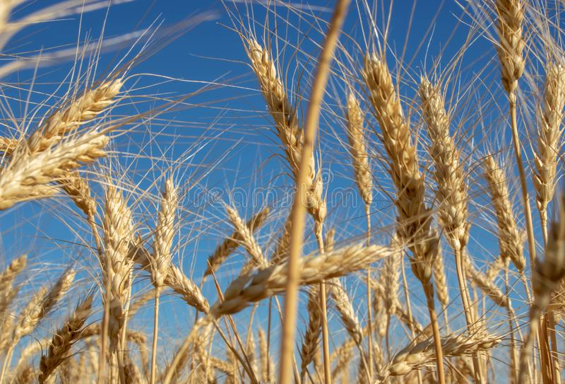 Golden wheat field with blue sky in background summer royalty free stock photo