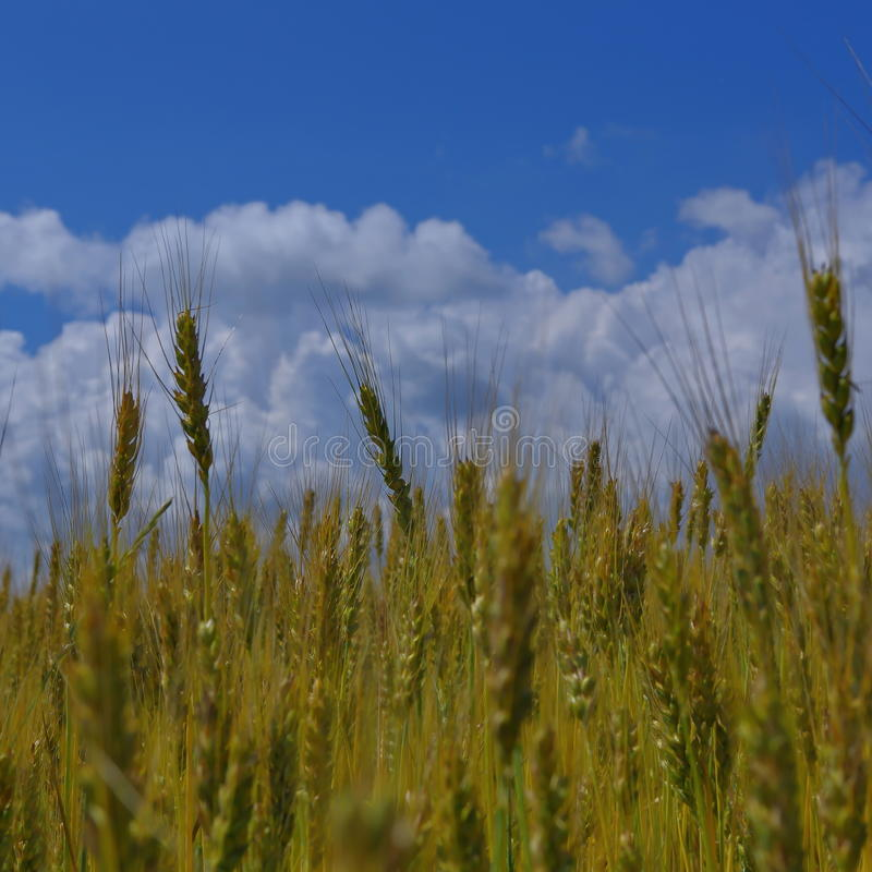 Golden wheat field with blue sky3. Growing golden wheat in a field on a sunny day stock photos