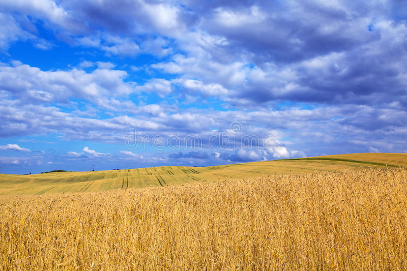 Download Golden Wheat Field With Blue Sky Stock Photo - Image: 33052660