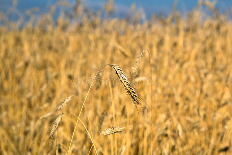 Golden Wheat Field With Blue Sky Stock Photos