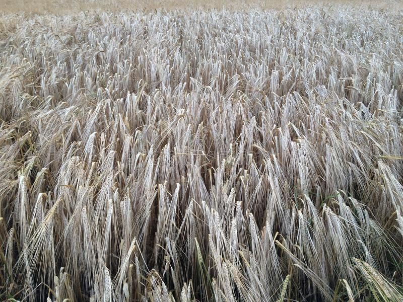 Golden wheat field facing towards camera stock images