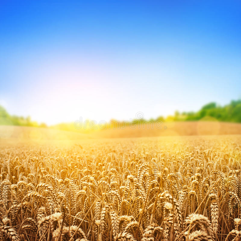 Golden Wheat Field. A wheat field, fresh crop of wheat stock photo