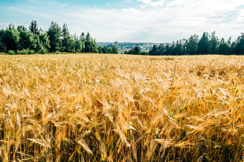 Golden wheat field with green forest royalty free stock images