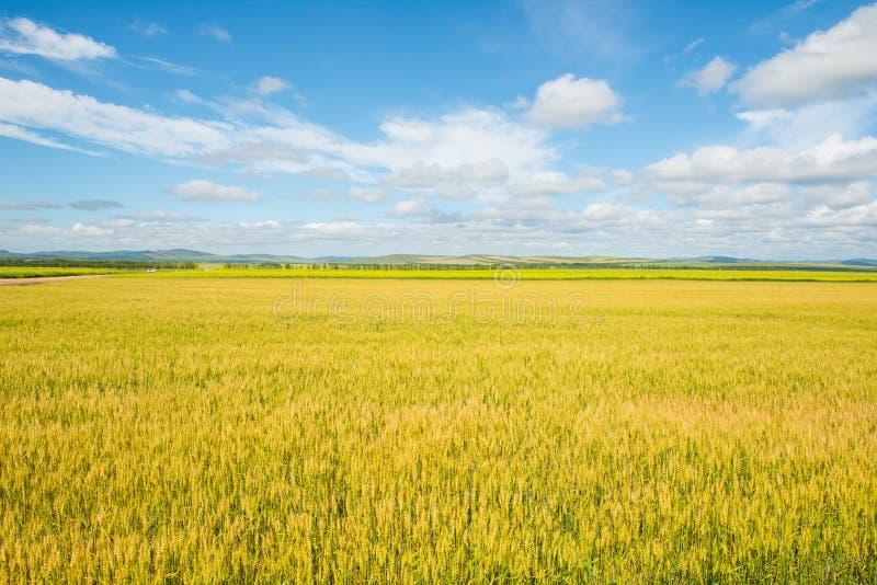 Golden wheat field in Inner Mongolia Prairie royalty free stock photo