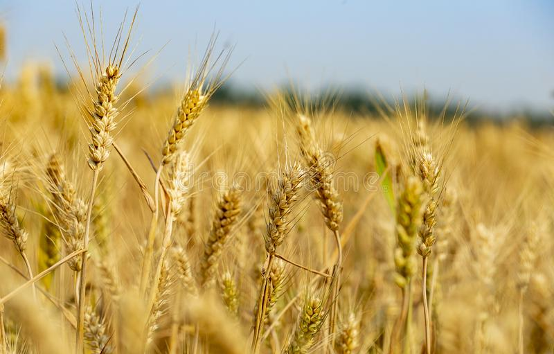 Golden wheat in the wheat field. Mature golden wheat in wheat field, harvest season,Wheat field stock photography