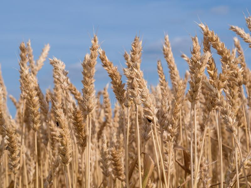 Golden wheat field ready to harvest agains a blue, clear sky stock photo