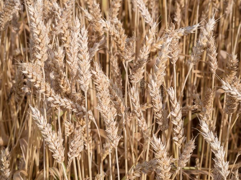 Golden wheat field ready to harvest royalty free stock images