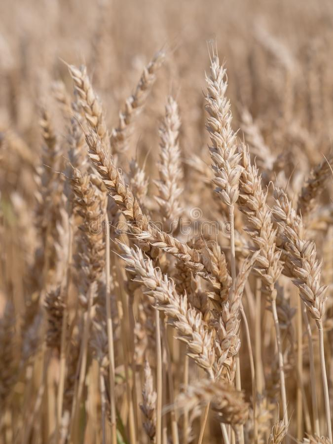 Golden wheat field ready to harvest royalty free stock image