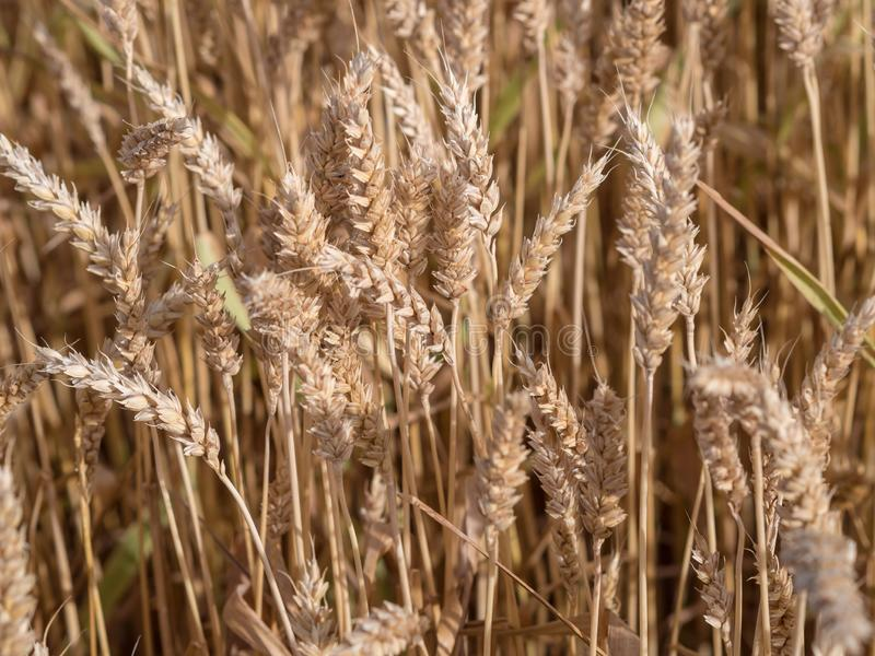 Golden wheat field ready to harvest stock photography