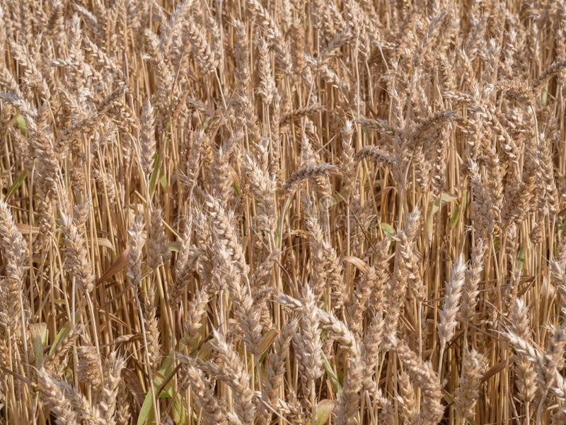 Golden wheat field ready to harvest. stock images