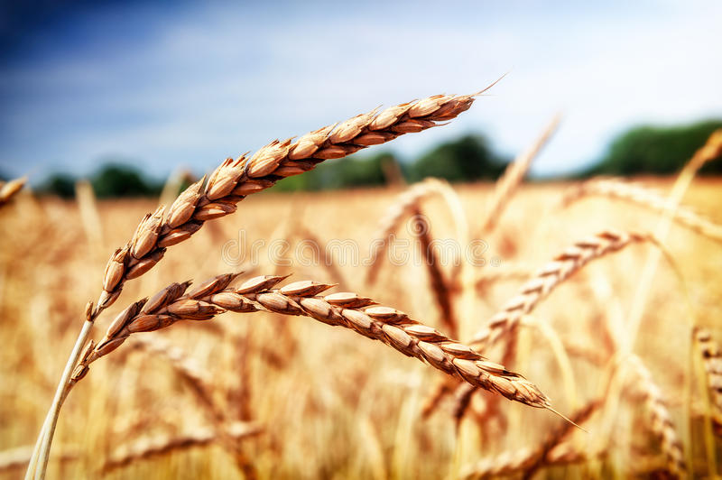 Golden wheat field (spelt wheat) at summer day. Closeup shot stock image