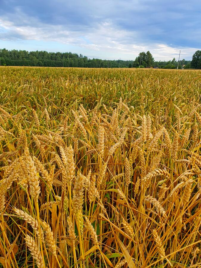 Golden wheat field in summer stock photography