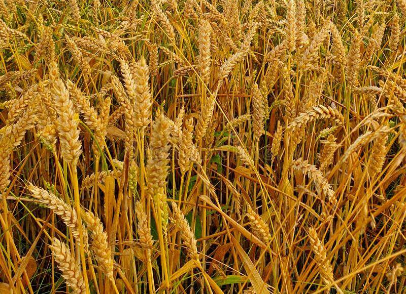 Golden wheat field in summer stock images