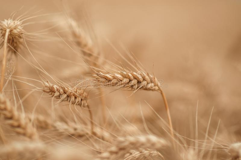 Golden wheat field and sunny day stock images