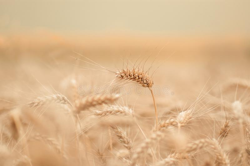 Golden wheat field and sunny day stock photos