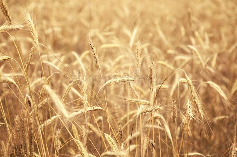 Golden wheat field in sunny day royalty free stock photography