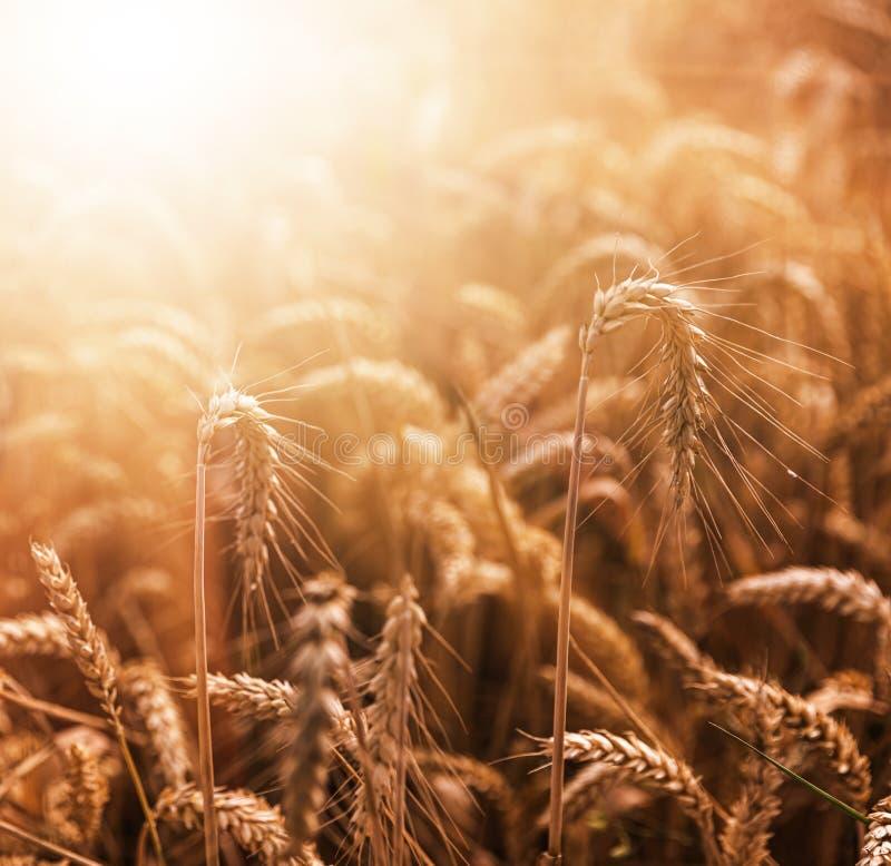 Golden wheat field stock image
