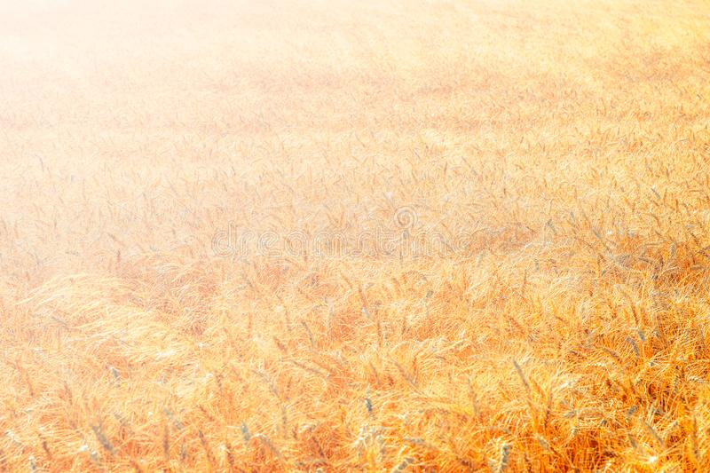 Golden wheat field and sunny day. Cereals, fields, backgrounds, wheats, agricultures, goldens, breads, sunnies, crops, days, ears, farms, grains, harvests stock photos