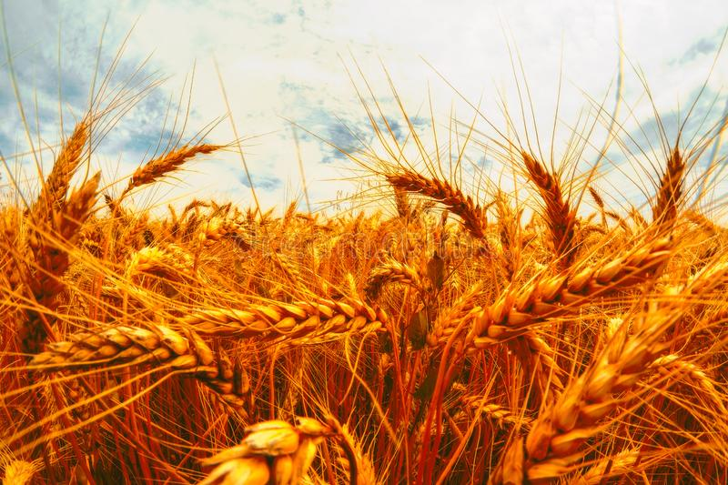 Golden wheat field and sunny day. Cereals, fields, backgrounds, wheats, agricultures, goldens, breads, sunnies, crops, days, ears, farms, grains, harvests stock images