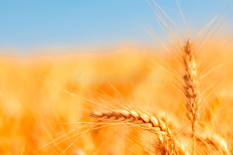 Golden wheat field and sunny day. Cereals, fields, backgrounds, wheats, agricultures, goldens, breads, sunnies, crops, days, ears, farms, grains, harvests royalty free stock images