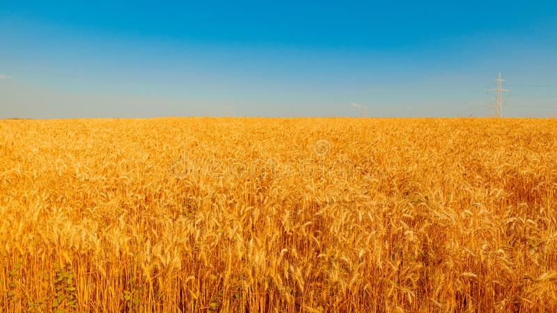 Golden wheat field and sunny day. Cereals, fields, backgrounds, wheats, agricultures, goldens, breads, sunnies, crops, days, ears, farms, grains, harvests royalty free stock image