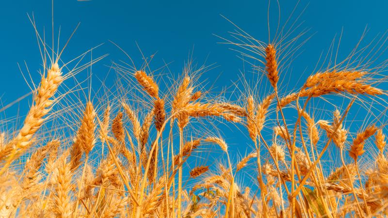 Golden wheat field and sunny day. Cereals, fields, backgrounds, wheats, agricultures, goldens, breads, sunnies, crops, days, ears, farms, grains, harvests stock image