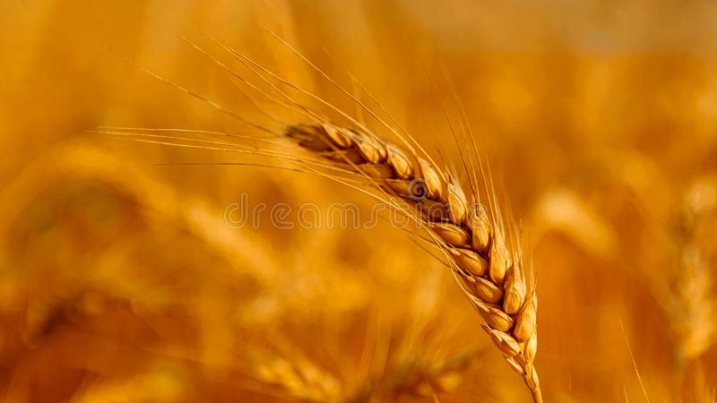 Golden wheat field and sunny day. Cereals, fields, backgrounds, wheats, agricultures, goldens, breads, sunnies, crops, days, ears, farms, grains, harvests royalty free stock photo