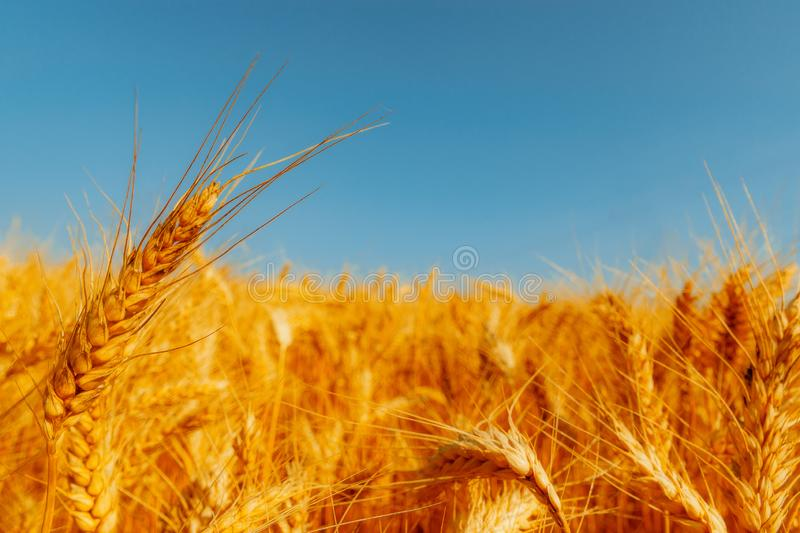 Golden wheat field and sunny day. Cereals, fields, backgrounds, wheats, agricultures, goldens, breads, sunnies, crops, days, ears, farms, grains, harvests royalty free stock photography