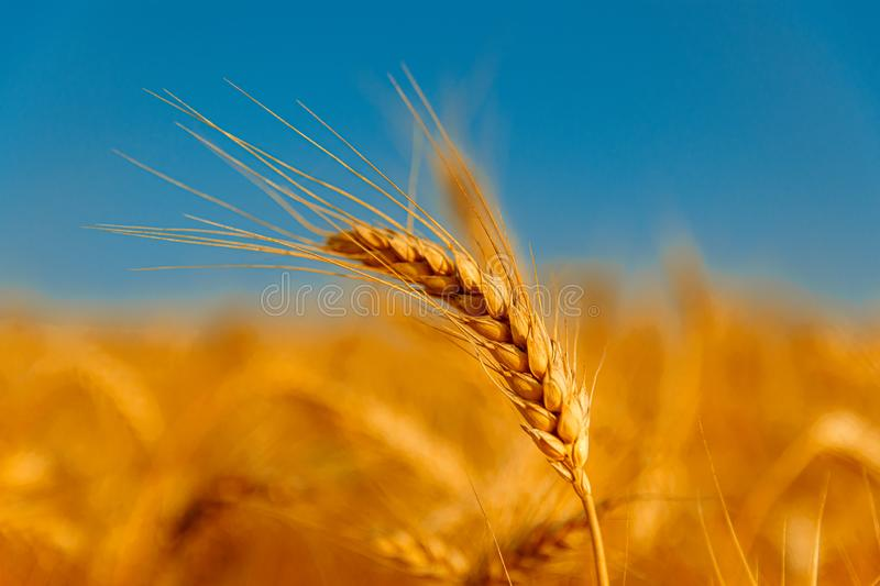Golden wheat field and sunny day. Cereals, fields, backgrounds, wheats, agricultures, goldens, breads, sunnies, crops, days, ears, farms, grains, harvests royalty free stock photos