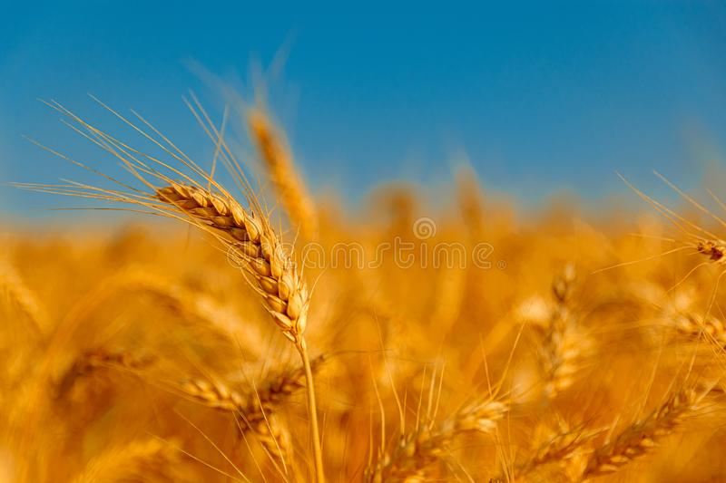 Golden wheat field and sunny day. Cereals, fields, backgrounds, wheats, agricultures, goldens, breads, sunnies, crops, days, ears, farms, grains, harvests stock photography