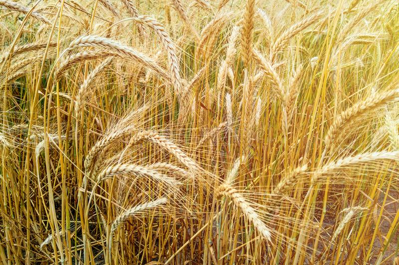 Golden wheat field and sunny day. Nature. Golden wheat field and sunny day stock photos