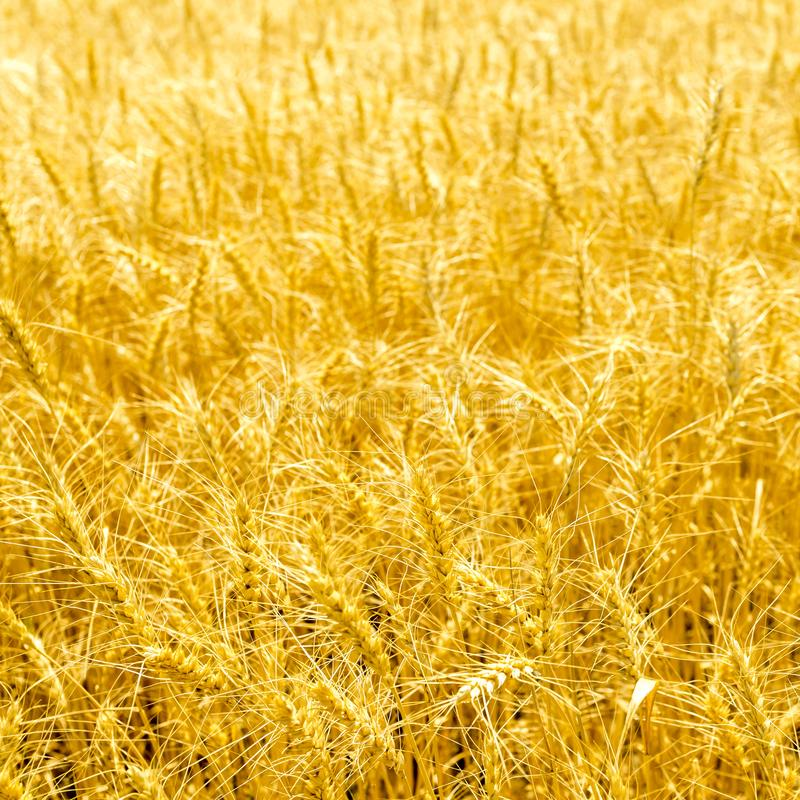 Golden wheat field on sunny day. Ripe stems in the rays of sunlight.  royalty free stock photos