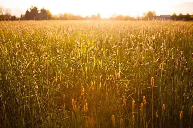Golden wheat field at sunset royalty free stock image