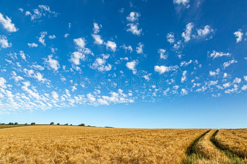 A Sussex Summer Scene. A golden wheat field in the Sussex countryside, on a sunny summers day stock images