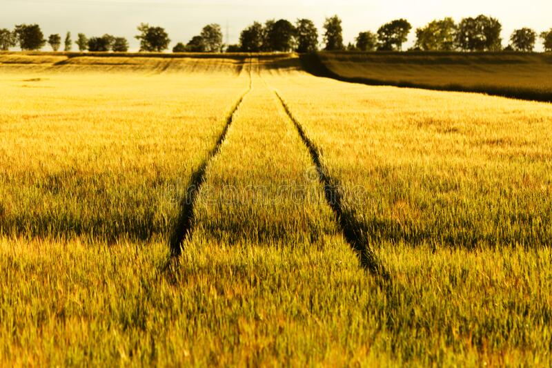 Golden wheat field with tracks summer season landscape stock image