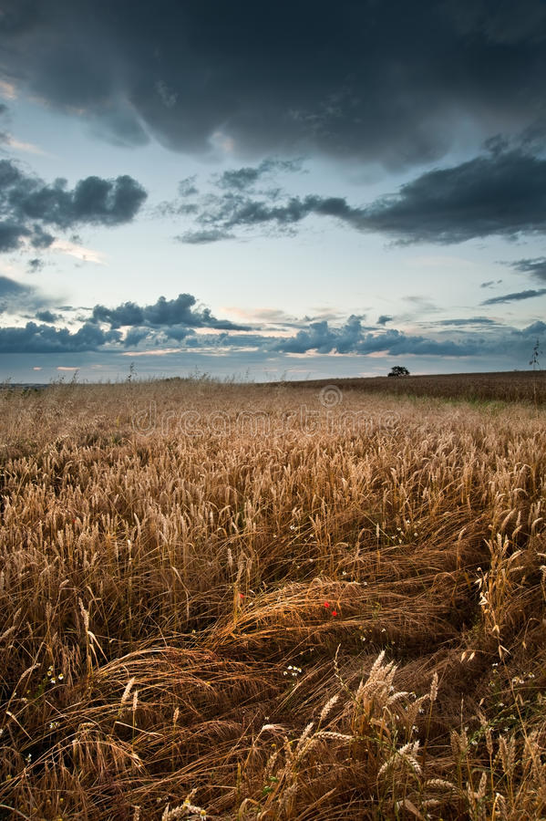 Golden wheat field under dramatic stormy sky stock image
