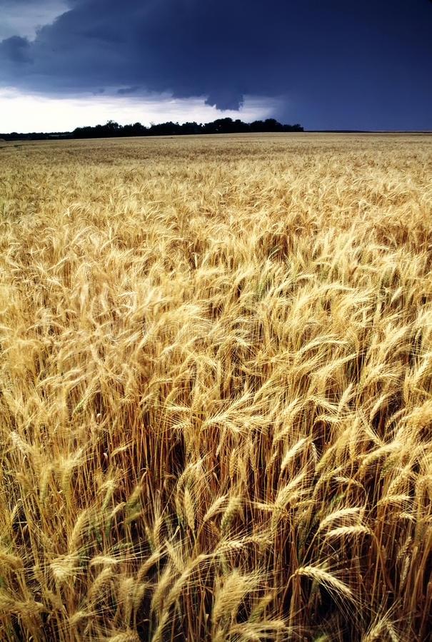 Golden Wheat Harvest threatened by Summer Thunderstorm. This golden colored wheat field nearly ready for harvest is being threatened by an approaching summer stock images