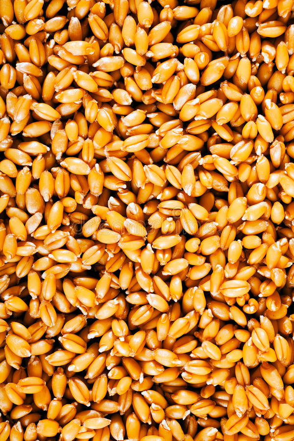 Golden wheat for human consumption. Like background stock photos